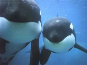 dos ballenas orcas