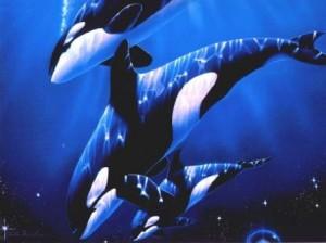 grupo de orcas nadando