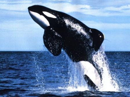 orca-Keiko
