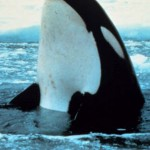 ballena orca fuera del agua