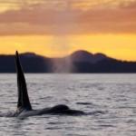 ballena orca macho
