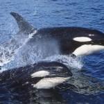 dos orcas fuera del agua