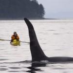 orca con humano